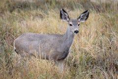 Daine de cerfs communs de mule dans l'herbe de prairie Photographie stock libre de droits
