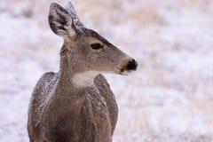 Daine de cerfs communs de mule dans la neige Cerfs communs sauvages sur les hautes plaines de couleur photo stock
