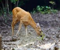 Daine de queue blanche près de la forêt Photographie stock libre de droits