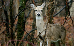Daine de Whitetail Images stock