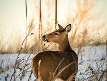 Daine de Whitetail mangeant en hiver Image stock