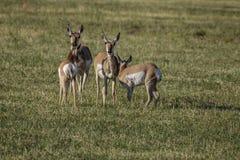 Daine et faon d'antilope de Pronghorn photo stock