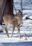 Daine mûre de whitetail Photo stock