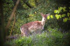 Daine un cerf commun, errant dans les jacinthes des bois photographie stock