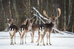 Daini, dama dama, animale adulto maestoso nella foresta di inverno, Bielorussia Piccolo gregge del dama dama dei cervi di maggesi Fotografia Stock Libera da Diritti