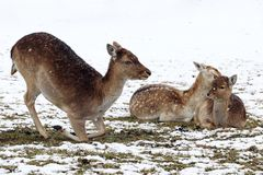 Daini femminili con i vitelli nell'inverno Immagini Stock