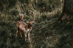 Daini nella riserva di caccia di Hukvaldy Immagine Stock
