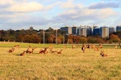 Daini in Richmond Park immagine stock libera da diritti