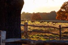 Daini in Richmond Park immagine stock