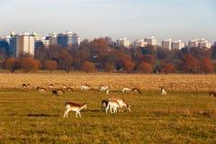 Daini in Richmond Park fotografie stock libere da diritti
