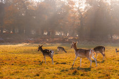 Daini in Richmond Park fotografia stock