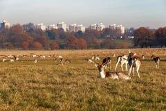 Daini in Richmond Park fotografia stock libera da diritti