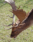 Daino. A particular of a deer Royalty Free Stock Photography