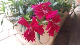 Dainthus Dainthus chinensis rosa färgblommor Arkivfoton