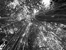Daintree Australia lasowy baldachim zdjęcia stock