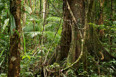 Daintree. National Park, rainforest scenery in Queensland, Australia Royalty Free Stock Image