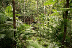 Daintree. National Park, rainforest scenery in Queensland, Australia Royalty Free Stock Photos