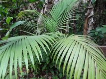 Daintree Rainforest Palm Stock Photos
