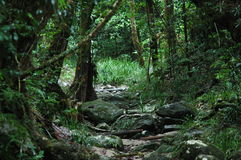 Daintree Rainforest. A Rainforest scene in Australia royalty free stock photography