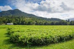 Daintree Tea Plantation. Fields of tea leaves in the Daintree region of Queensland, Australia Stock Photography