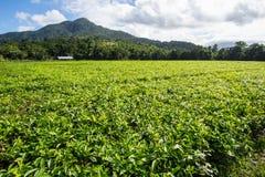 Daintree Tea Plantation. Fields of tea leaves in the Daintree region of Queensland, Australia Royalty Free Stock Images