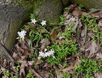 Dainty белая красота весны цветет и утончает зеленые листья растя под деревом Стоковое Изображение RF