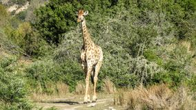Dainty жираф стоковое изображение
