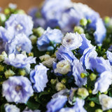 Dainty. A close-up of the tiny blue and white flowers of a campanula plant stock photography