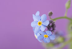 Dainty blue Forget-me-not flower on purple Royalty Free Stock Photography
