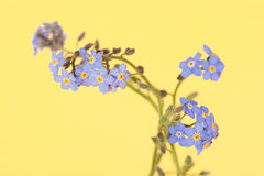 Dainty blue Forget-me-not flowers Stock Photos