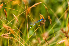 A Dainty damselfly Royalty Free Stock Photos