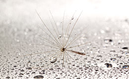 Dainty dandilion on wet surface Royalty Free Stock Photo