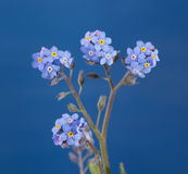 Dainty Forget-me-not flowers against blue Stock Photography