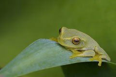 Dainty Green Tree Frog Royalty Free Stock Photos