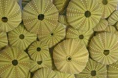 DAINTY GREEN URCHIN SEA SHELLS. Image of a collection of dainty green patterned urchin sea shells stock photos