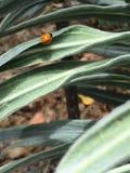 Dainty ladybug. Bug crawling on silvery stock photo