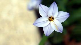 Dainty Little Blue Flower stock photos