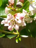 A sweet white and pink flower