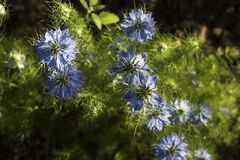 Free Dainty Nigella Sativa Flowe Love-in-a-mist, Summer Herb Plant With Different Shades Of Blue Flowers On Small Green Shrub Royalty Free Stock Photos - 172519638