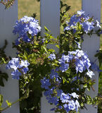 Dainty pale blue flowers of plumbago Royalty Free Stock Images