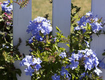Dainty pale blue flowers of plumbago. Dainty pale white five petalled  flowers of plumbago adorn the shrubby plant from spring to early winter adding charm to Royalty Free Stock Images