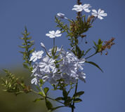 Dainty pale white flowers of plumbago Stock Images