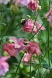 Dainty pink columbine blooms and buds on tall stems host bumblebee. Dainty, intricate pink columbine flowers on tall stems dance like ladies in frilly dresses. A stock photography