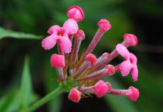 Dainty pink flowers royalty free stock image