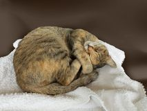 Dainty relaxed siberian cat sleeping. Relaxed dainty curled up siberian cat having a break sleeping cozyly on white towel stock photo