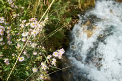 Dainty small pink wildflowers on a riverbank. With the fast flowing white water of a river below in a view from above stock photo