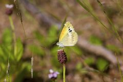 Free Dainty Sulphur Butterfly    708831 Royalty Free Stock Photography - 197191597