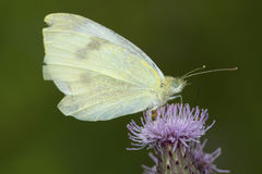Dainty sulphur butterfly on thistle flower in Connecticut. Dainty sulphur butterfly, Nathalis iole, on a thistle flower at the Belding Wildlife Management Area stock photography