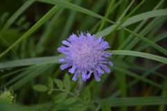 Dainty Violet Globe of Wild Flowering. A summer picture, a colourful violet star in a field royalty free stock images