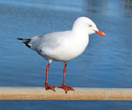 Dainty white seagull perching on an iron rail at the estuary. Stock Photo